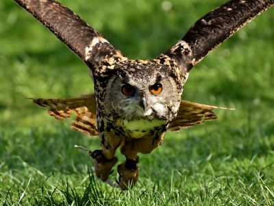 Photo of owl flying in the air